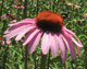 Working with Essences FESechinacea